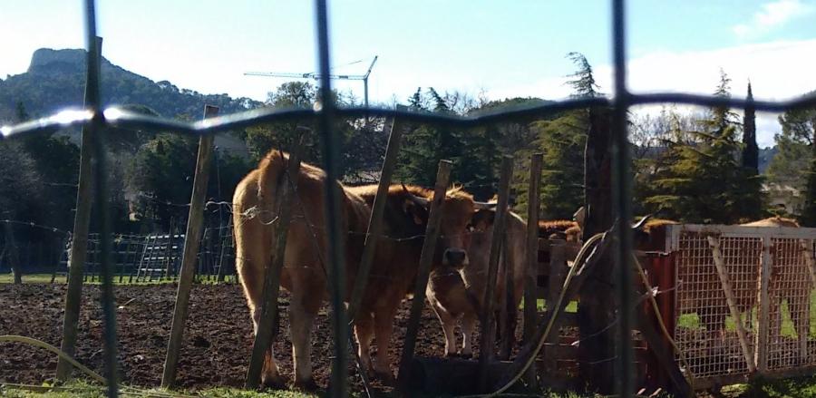 aaasmiling cows