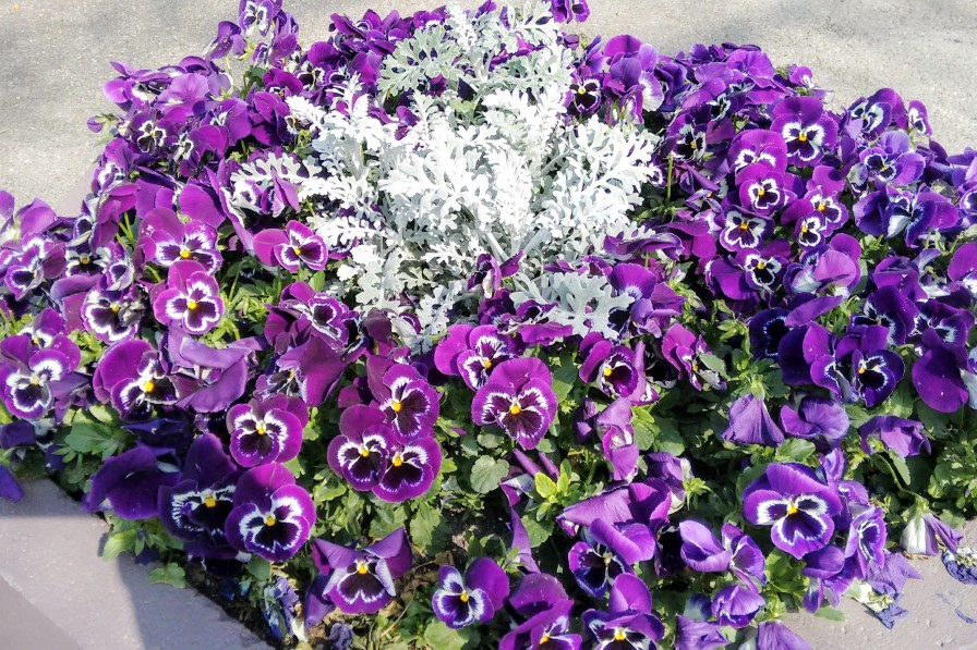 A planter of purple pansies greet visitors to the Tourist Office.