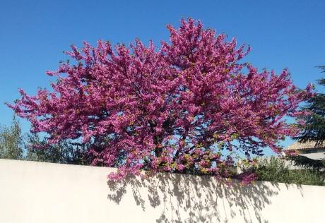 A redbud in full bloom