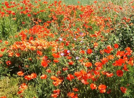 Poppies galore!