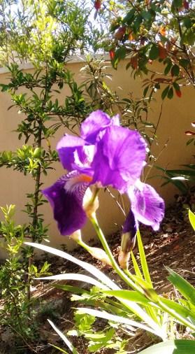 Wild iris...