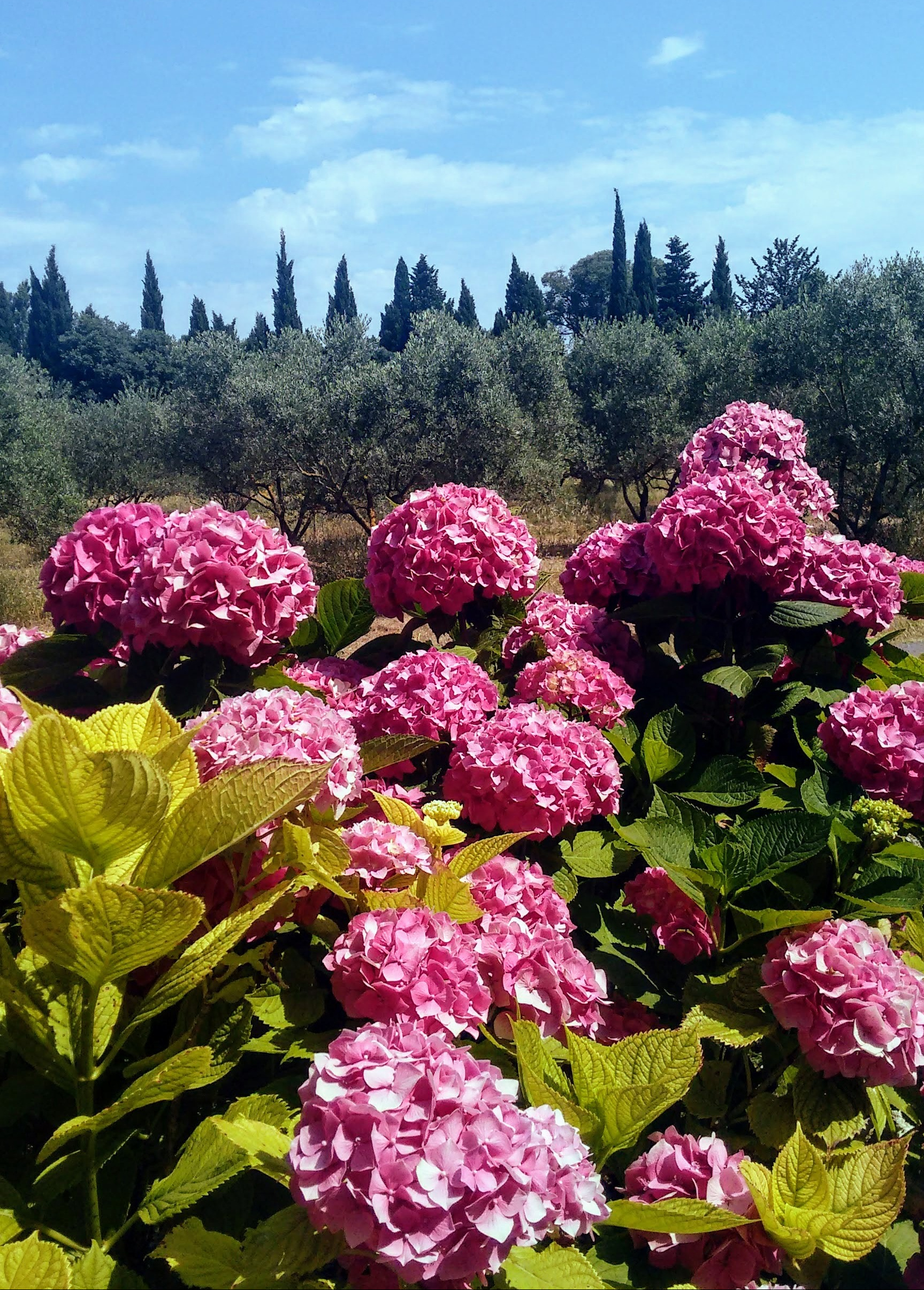 Hot pink hydrangeas shout summer in St. Remy.