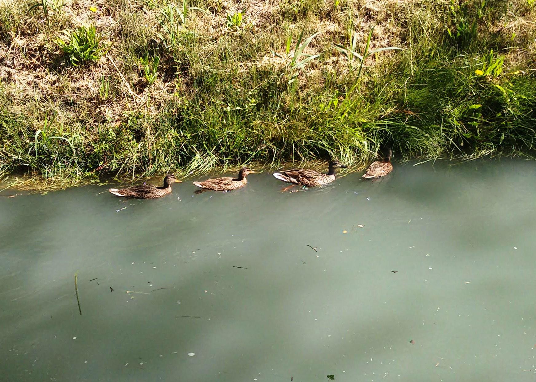 Mallards on Canal de la Crau